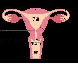 子宮頸部の説明図